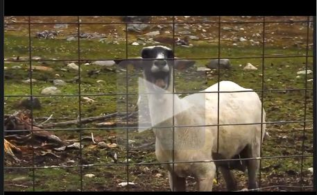 Screaming-sheep-on-utube